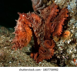 Giant Pacific Octopus, Enteroctopus dofleini