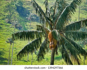 Giant Palm Trees in Cocora Valley, Colombia.