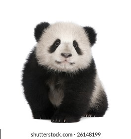 Giant Panda  (4 months)  - Ailuropoda melanoleuca in front of a white background
