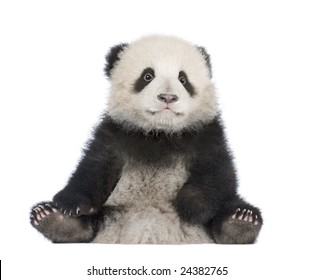Giant Panda  (6 months)  - Ailuropoda melanoleuca in front of a white background