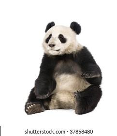 Giant Panda, Ailuropoda melanoleuca, 18 months old, in front of a white background, studio shot