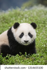 Giant panda, Ailuropoda melanoleuca, approximately 6-8 months old, standing in wildflowers.