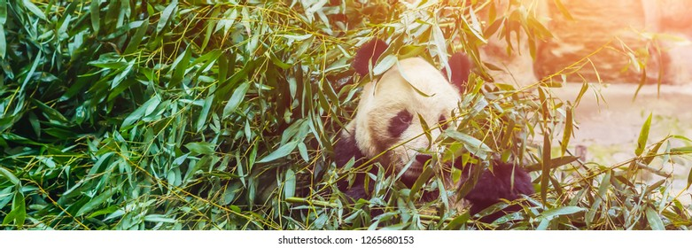 Giant panda Ailuropoda melanoleuca eating bamboo. Wildlife animal BANNER, LONG FORMAT