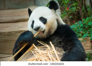 The Giant Panda Ailuropoda melanoleuca eating bamboo shoots