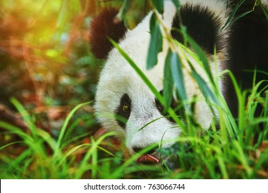 Giant Panda (Ailuropoda Melanoleuca) in the Grass