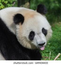 Giant panda, Ailuropoda melanoleuca, head
