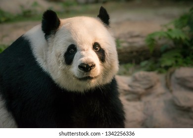 The Giant Panda Ailuropoda melanoleuca looks directly towards the camera