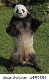 Giant Panda, ailuropoda melanoleuca, Male standing on Hind Legs