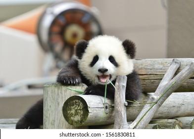 Giant panda baby eating bamboo leaves.