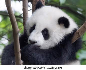 Giant panda baby on the tree