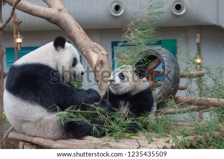 Giant Panda with the