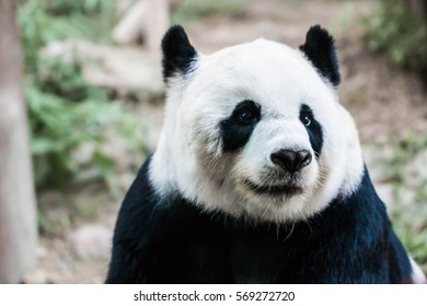 Giant panda be absent-minded