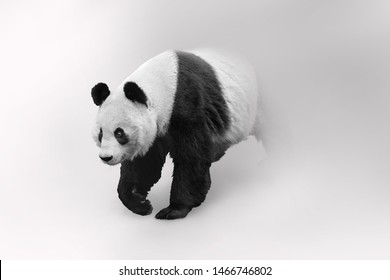 Giant panda bear is adored by the world and considered a national treasure in China