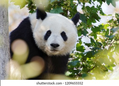 Giant panda bear -  Ailuropoda melanoleuca - sitting on a tree