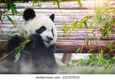 Giant panda bear bathing and eating bamboo in the sun