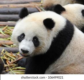 Giant panda bear closeup