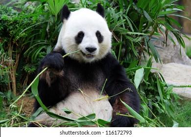 giant panda bear eating bamboo
