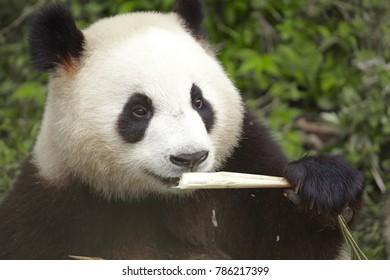 giant panda bear eating bamboo shoot