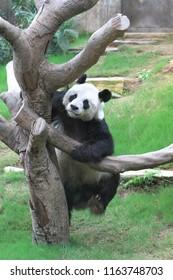 giant panda bear at the ocean park