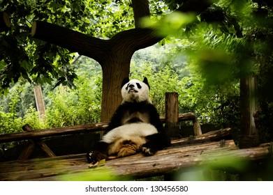 """Giant Panda Bear relaxing in """"Panda Base"""" in Chengdu, China"""