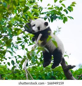 Giant panda bear sleeping in tree