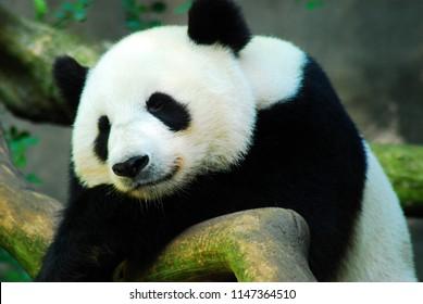 A giant panda bear takes a nap on a large rock