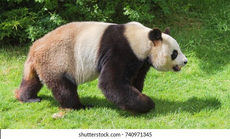 Giant panda, bear panda walking on the grass, profile