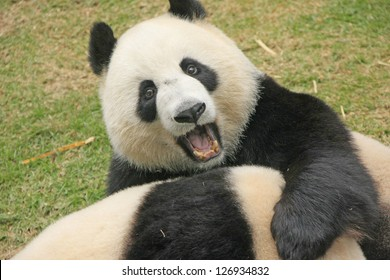 Giant panda bears (Ailuropoda Melanoleuca) playing together , China