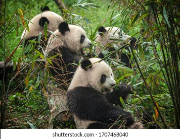 Giant panda bears eating bamboo in forest