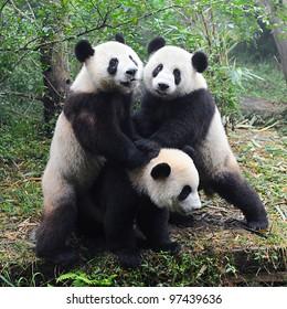 Giant panda bears playing together