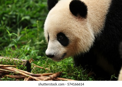 A giant panda in Chengdu, China.