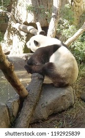 Giant panda from China,  San Diego, California