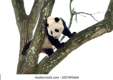 Giant Panda Climbing a Tree, Szechuan, China. White Sky Background