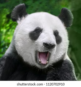 giant panda close up portrait