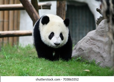 Giant panda cub at the Giant Panda Breeding Research Base in Chengdu, Sichuan, China