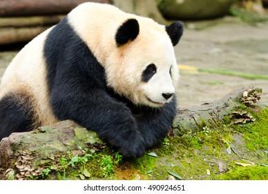 Giant Panda in a  Deep Thinking Pose, Chengdu, Szechuan, China