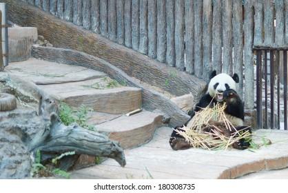 giant panda is eating bamboo