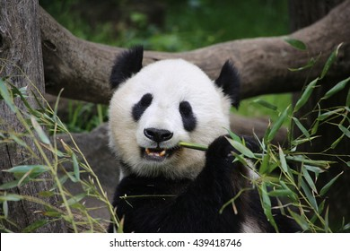 panda eating bamboo images stock photos vectors shutterstock