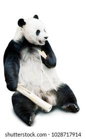Giant panda eating bamboo isolated over white background