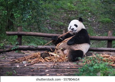 Giant Panda eating bamboo lying down on wood in Chengdu, Sichuan Province, China