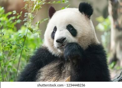Giant panda eating bamboo,Wild Animals.