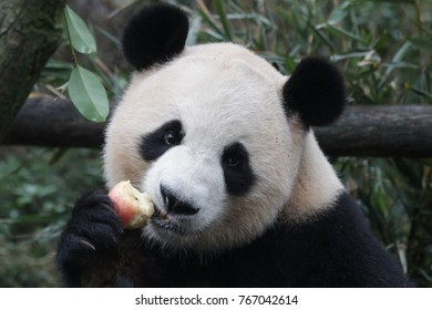 Giant Panda is Eating Red Apple, China