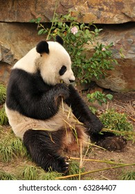 Giant panda is eating some bamboo