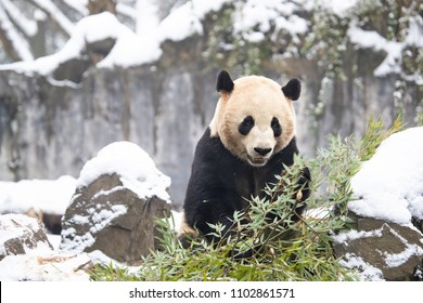 Giant panda eating their bamboos in the winter seasoning and snowy