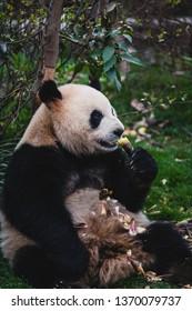 A giant panda eats bamboo in Chengdu, China.