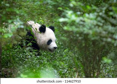 Giant Panda, an endangered species, walks through the woods