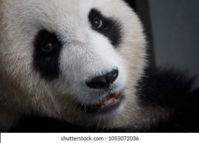 Giant Panda Face Close Up