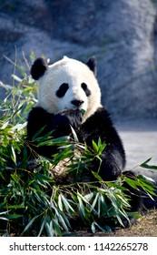 Giant panda feeding on bamboo leaves