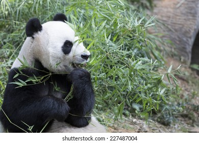 Giant Panda feeding on shoots