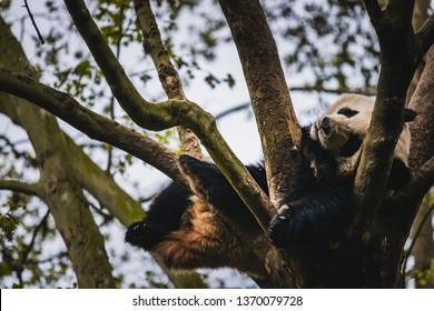 A giant panda juvenile sleeps in a tree in Chengdu, China.